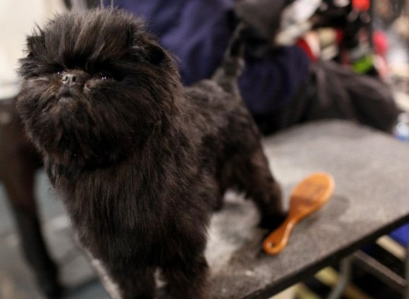 Here he is winning 'Best in Show' at the Westminster Kennel Club dog show. We can see why.