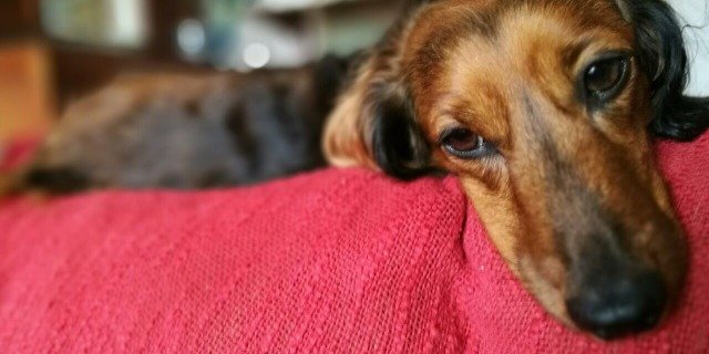 Long hair dachshunds 2