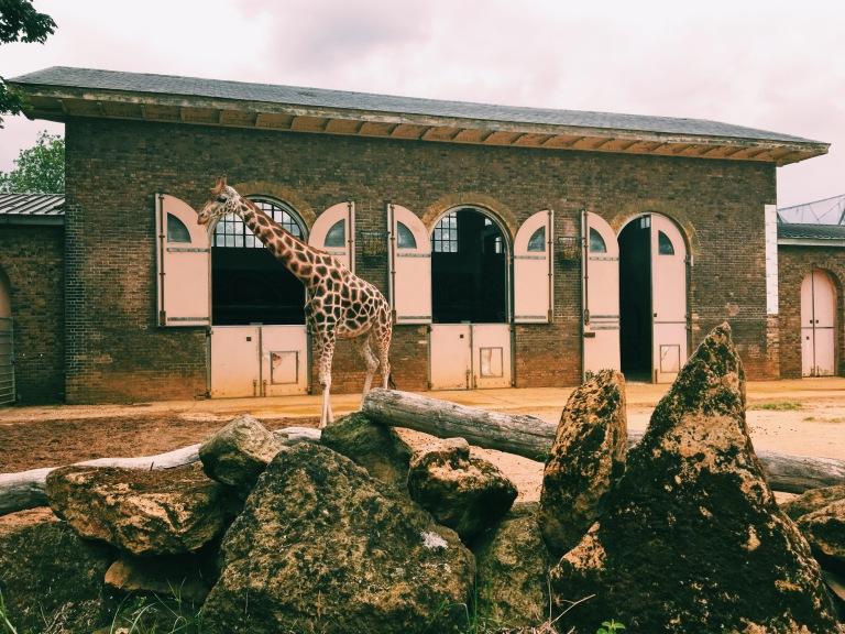 ZSL London Zoo Giraffes Into Africa