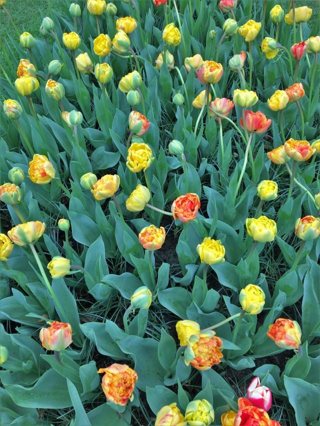 Keukenhof Amsterdam Netherlands Flowers