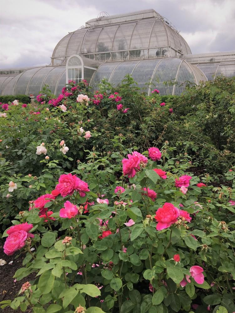 Kew Gardens Roses