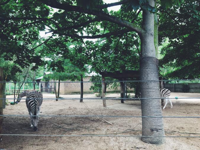 ZSL London Zoo Zebra Into Africa