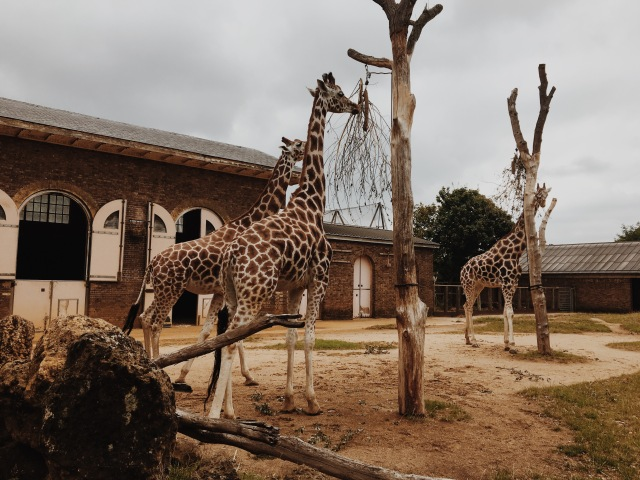 ZSL London Zoo Giraffes Into Africa